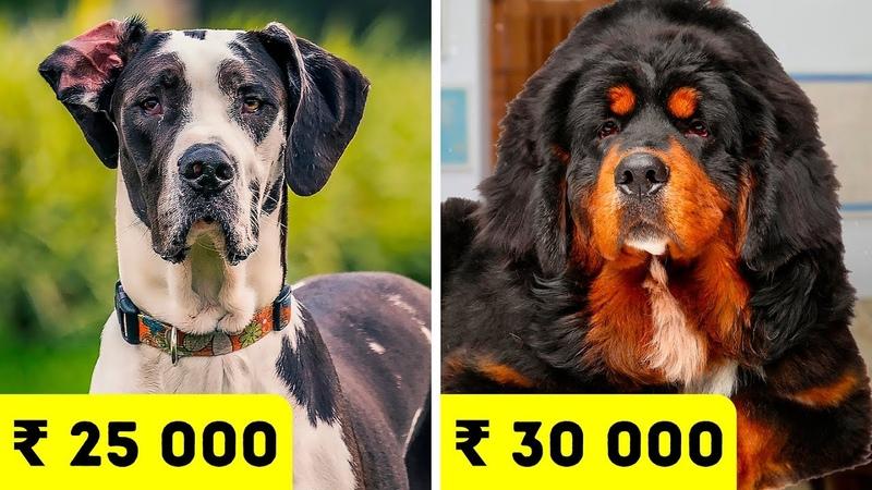Самые дорогие породы собак в Индии в 2020 году