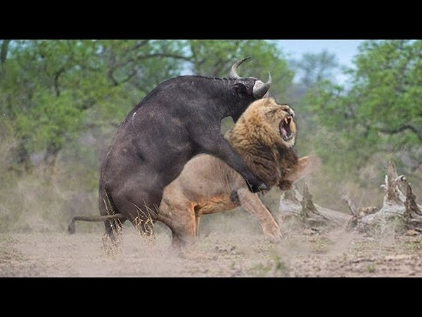 OMG! Single Buffalo Too Angry Destroy The Strongest Lion in African