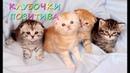 МАЛЮСЕНЬКИЕ шотландские котята: КЛУБОЧКИ ПОЗИТИВА в питомнике Афина!