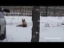 Лиса охотится на кошек в садах Радуга Нефтекамск
