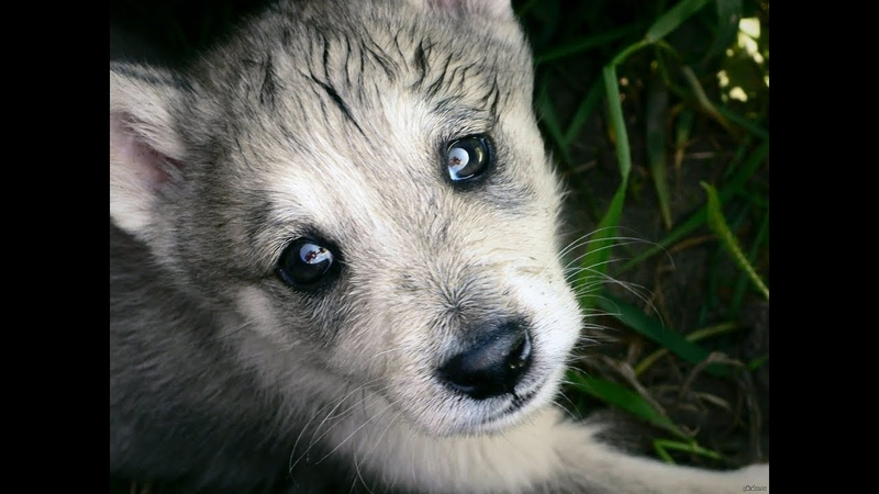 Волчонок пристально смотрел мне в глаза будто умоляя: Не надо не стреляй это моя мама!
