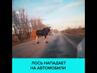 Агрессивный лось атаковал машину на трассе возле Тольятти  Москва 24