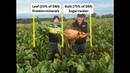Оптимизация использования кормовой свеклы в животноводческих хозяйствах Optimising fodder beet in livestock systems