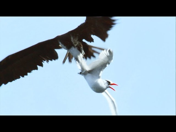 Sea Birds Battle In The Air For Fish   Life   BBC Earth