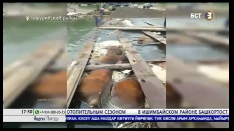 В Гафурийском районе из за затяжных ливней утонули 15 коров