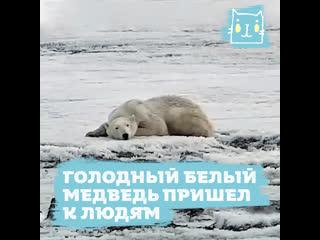 Голодный белый медведь пришел к людям