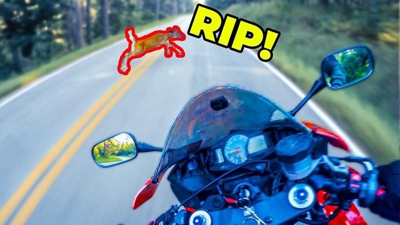 DEER vs MOTORCYCLE! DOA