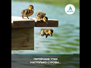 Утки прыгают с моста | АКУЛА