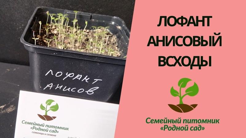 Лофант анисовый всходы Выращивание лофанта анисового из семян