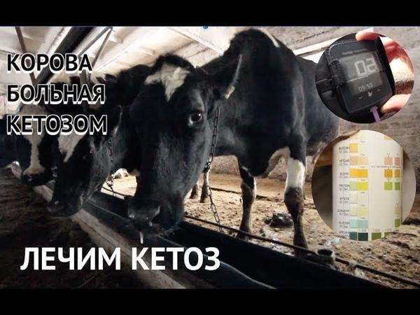 Кетоз коров проблема ферм и частных подворий