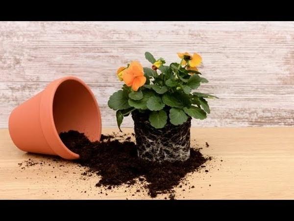 Общие правила ПЕРЕСАДКИ комнатных растений Пересадка и перевалка