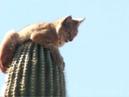 Bobcat atop Saguaro Cactus in Gold Canyon, AZ
