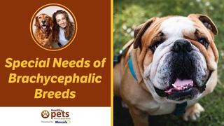 Особые потребности собак-брахицефалов / Special Needs of Brachycephalic Breeds