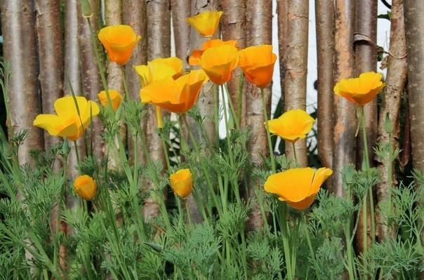Эшшольция Эшшольция или калифорнийский мак это растение с романтическими солнечными цветами, которые напоминают полевые цветы. Хотя родиной этих растений является штат Калифорния, это не мешает