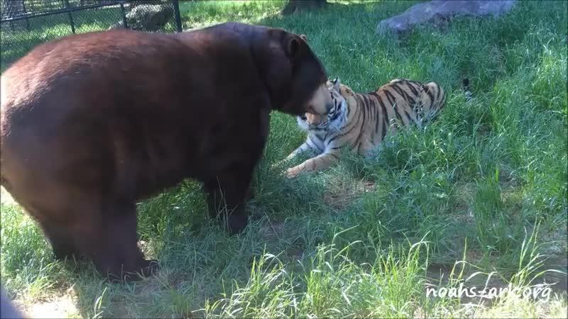 Baloo bear loves his tiger brother Shere Khan at Noah' mp4