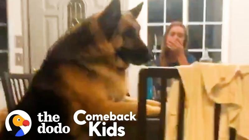 150-Pound German Shepherd Loses 50 Pounds   The Dodo Comeback Kids