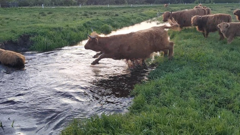O krowach, które bały się wejść do wody (cz.2)
