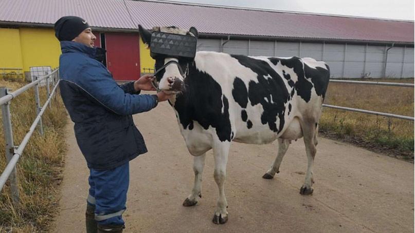 Русская комолая порода коров - БиоКорова | 454x807
