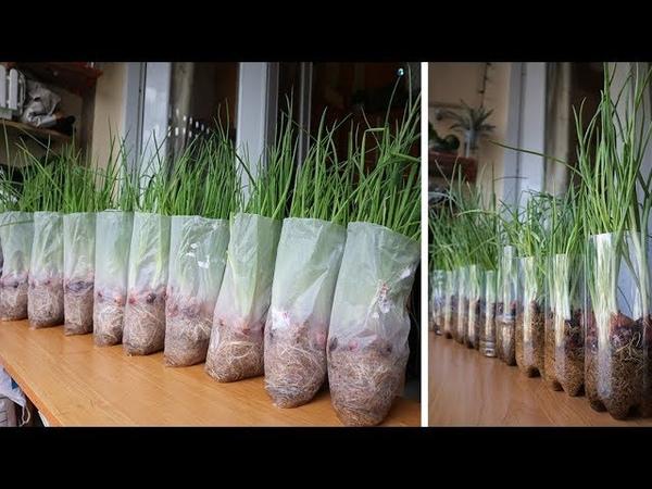 Tái chế trồng hành lá trong nilon và kim chi hành Recycle green onions in plastic onion kimchi
