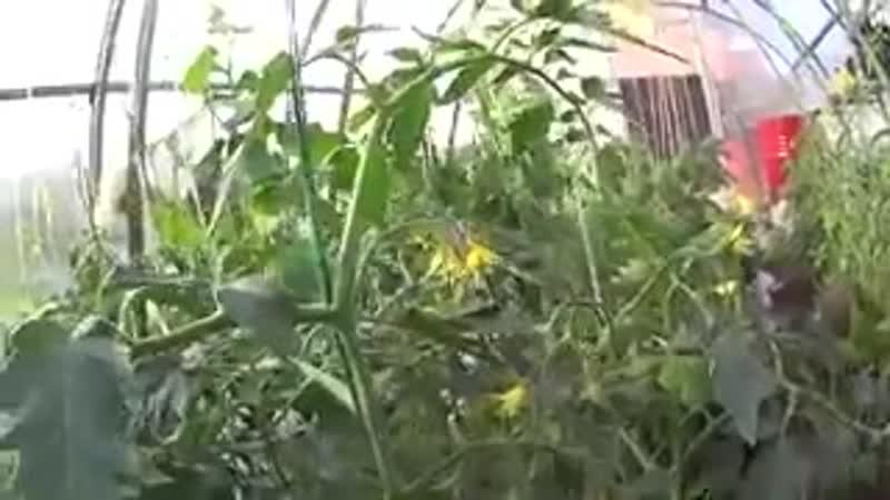 Подкормка томатов во время цветения Школа цветоводства и садоводства