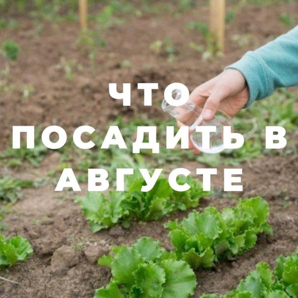Что посадить в огороде в августе САЛАТЫВыбирайте сорта, которые легко переносят пасмурную и прохладную погоду. Листовой латук созреет через 35-40 дней, хорошая для него температура 10-15°C.Сорта