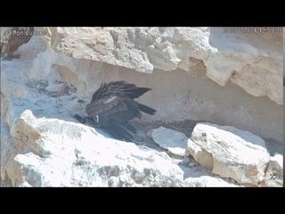 כנגד כל הסיכויים, הגוזל היתום פרח מהקן בזכות רחפן ואב אלמן ומסור! - Israel Raptor Nest Cam