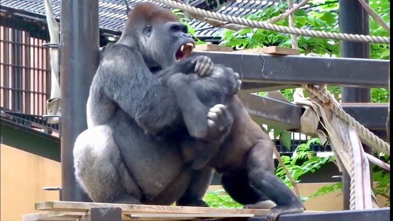 父に挑み続ける長男 2019 ⭐️ゴリラ gorilla 京都市動物園 Gentaro keeps challenging his father gorilla 2019