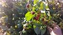 Осенний сбор ремонтантной малины на даче.
