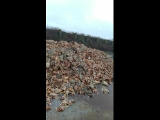В Днепропетровской области у въезда в село Широкое просто на землю свалили около двух тонн тушек мертвых кур