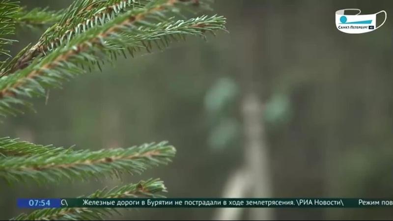 Где взять живую елку на Новый год