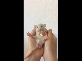 Video by Mustela's rats