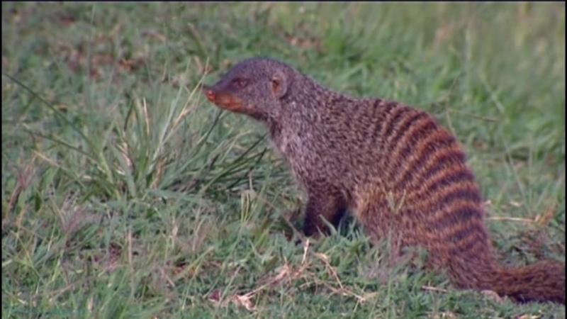 BBC Полосатые братья Банда мангустов 4 серия Документальный природа животные 2009