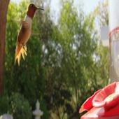 Footage Full HD (футаж) - Hummingbird Slow Motion