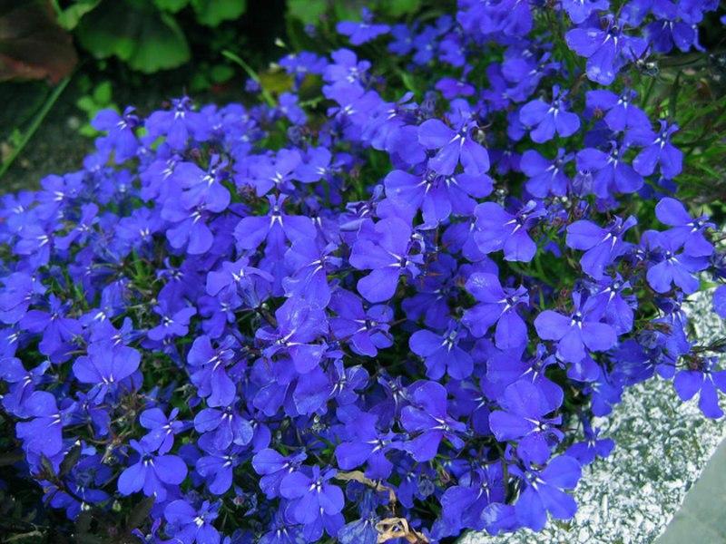 Какие цветы сажают на рассаду в феврале?, изображение №3