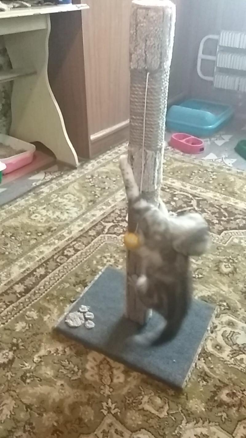 Казань. Продаем вислоухих котят и когтеточки.
