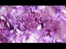 Букет из 3 фиолетовых гортензий и 10 сиреневых гвоздик