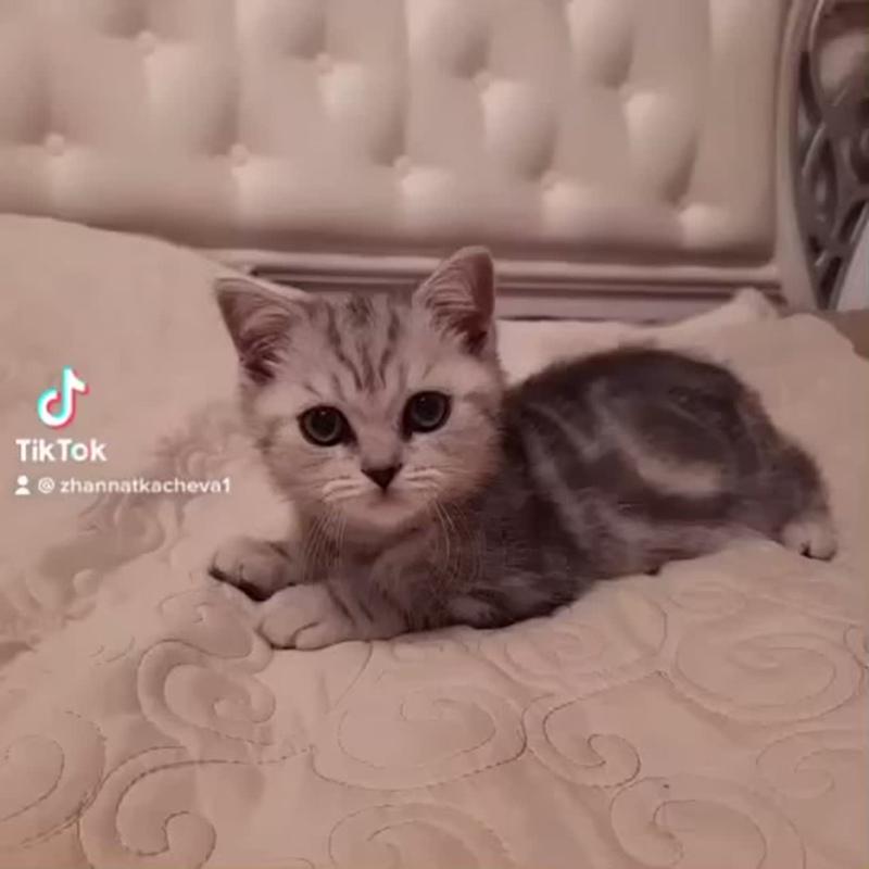 Прямоухий шотландский котенок. Сын Ночки и Персика