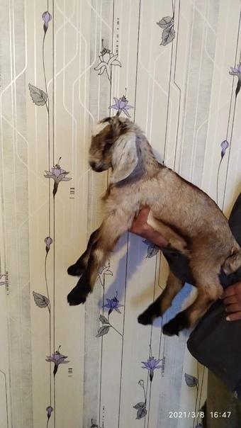 Продам козлят англо-нубийской породы. Рождены в фе...