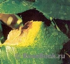 Борьба с инфекционными болезнями роз, изображение №18
