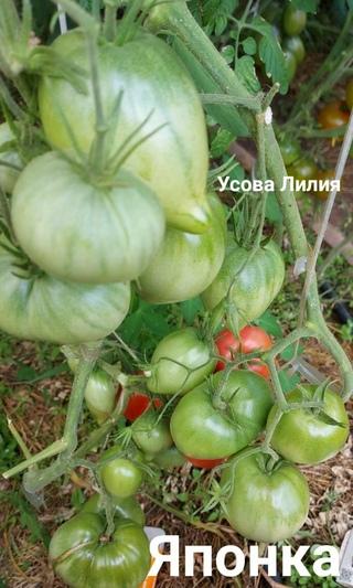 Томатики на семена 2020