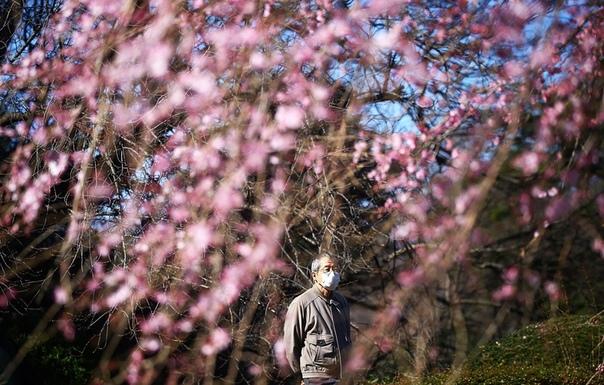 Начало цветения сакуры в Токио. Наши дни.