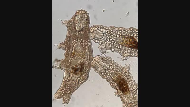 Эти микробные эукариоты известны своей жесткостью.