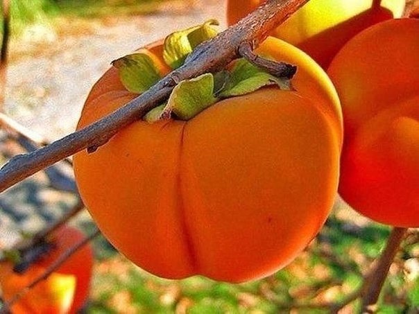 ХУРМА-СЛИВА БОГОВ  Есть фрукты, которые четко ассоциируются у каждого...