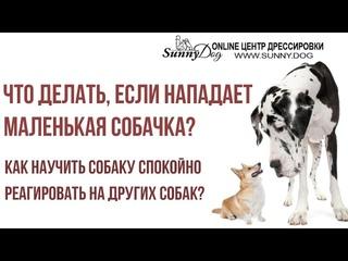 Что делать, если нападает маленькая собака? Как научить собаку спокойно реагировать на других собак?