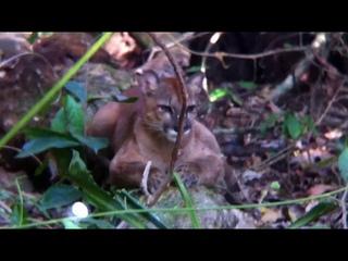 León Puma Surcos Tours con Dionisio en Corcovado Península de Osa Costa Rica.