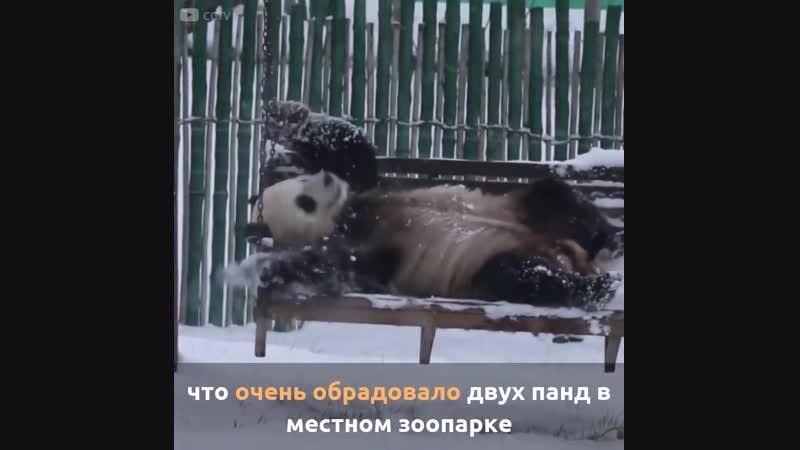 Искренняя радость панд от первого снега