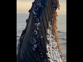 Горбатый кит выныривает из воды