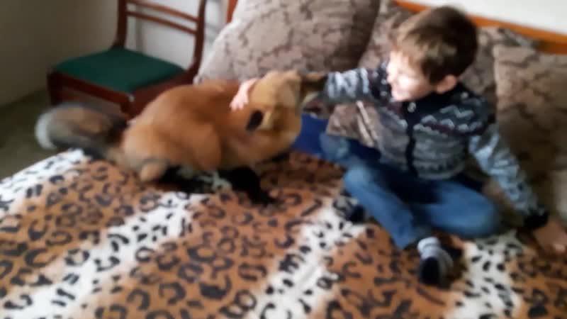 Эмоции лиса Яши при встрече с ребенком